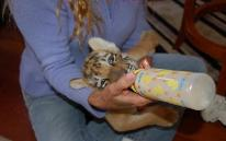 wildlife rescue refuge sanctuary tiger